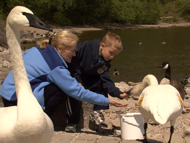Reintroduction of Trumpeter Swans into Ontario