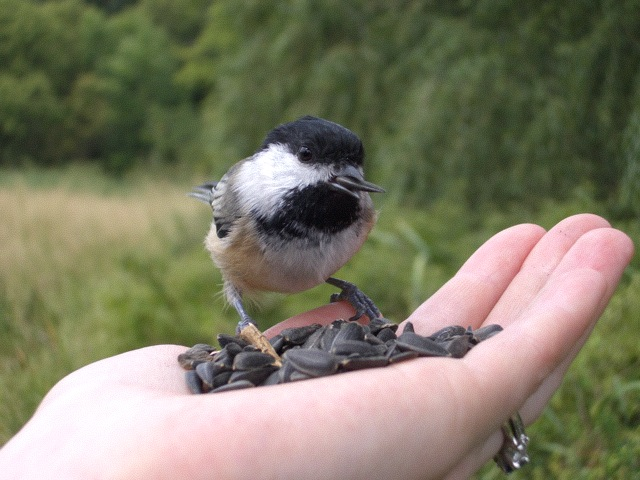 Peter - Feed Chickadee