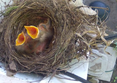 Webcam – Robin Nest