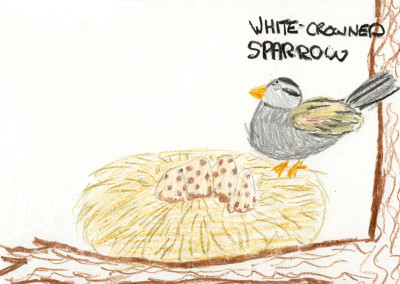 Kate - White-crowned Sparrow