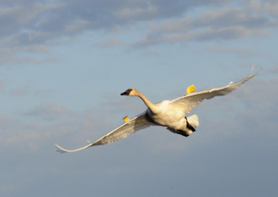 Tagging Trumpeter Swans